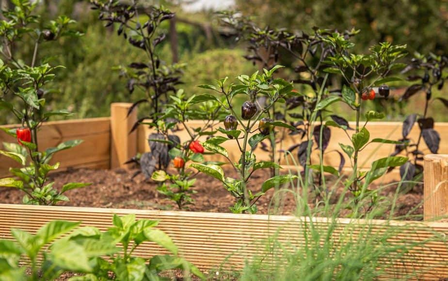 raised bed, chili, chives