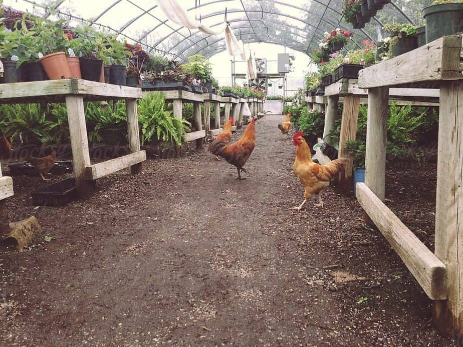 Basic Needs For Chickens In Greenhouses