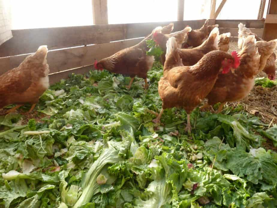 protecting your plants from chickens in a greenhouse