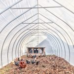 Can You Easily Keep Chickens In Your Greenhouses?