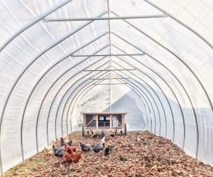 Read more about the article Can You Easily Keep Chickens In Your Greenhouses?